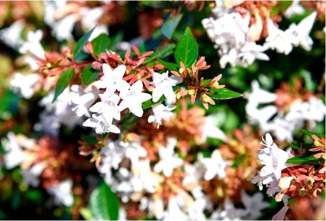 Абелия крупноцветковая — abelia × grandiflora