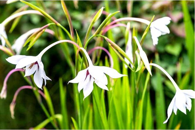 Ацидантера абиссинский гладиолус — acidanthera bicolor