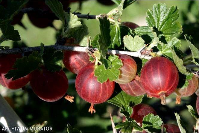Крыжовник 'red triumph' — ribes uva-crispa 'red triumph'