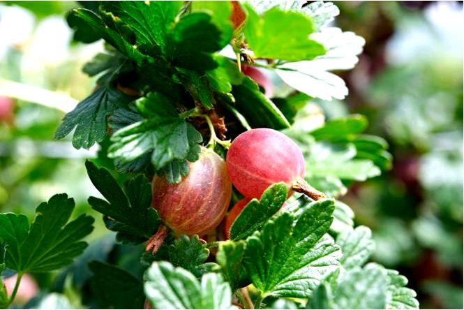 Крыжовник рекомендуемые сорта крыжовника для выращивания в саду