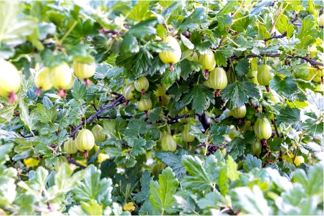 Крыжовник смородина крыжовник — ribes uva-crispa