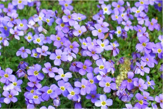 Garden agwin — aubrieta × cultorum (син