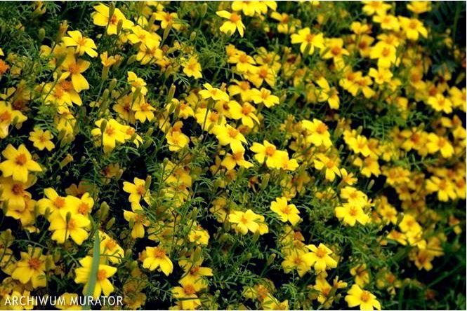 Бархатцы узколистные — tagetes tenuifolia 2