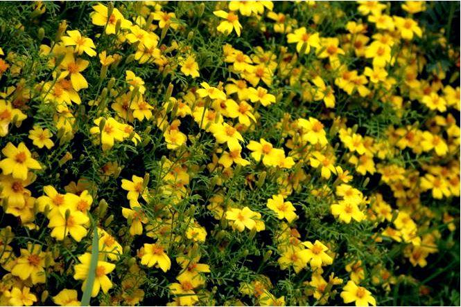 Бархатцы узколистные — tagetes tenuifolia