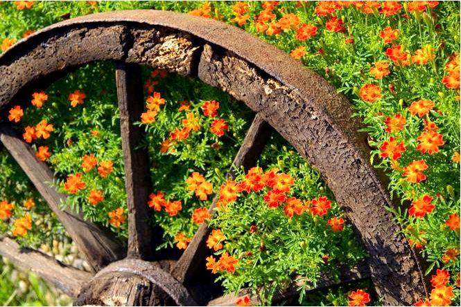 Бархатцы — использование бархатцев в саду