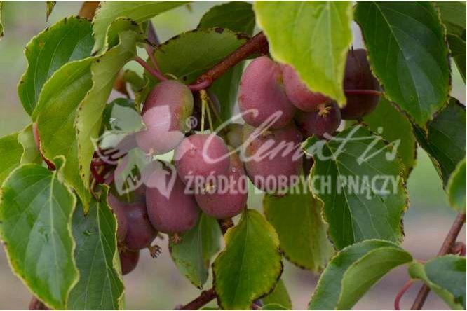 Kiwi berry (мини киви) — выращивание