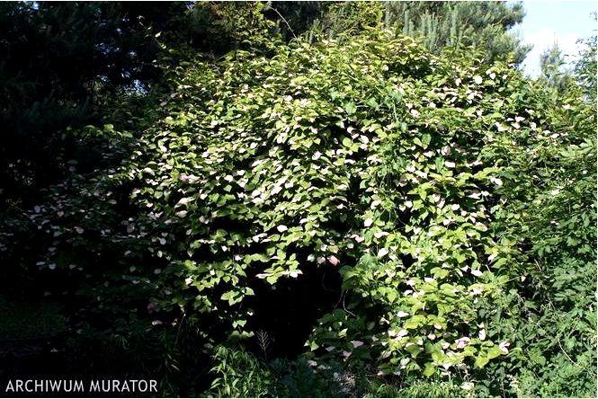 Киви ягоды — actinidia kolomikta