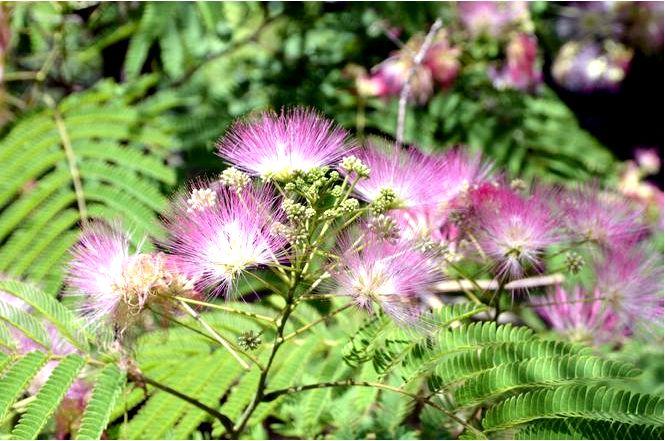 Шелковистая альбиция — albizia julibrissin