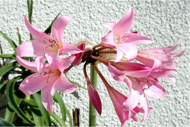 Амариллис и гиппеаструм — два разных луковичных растения