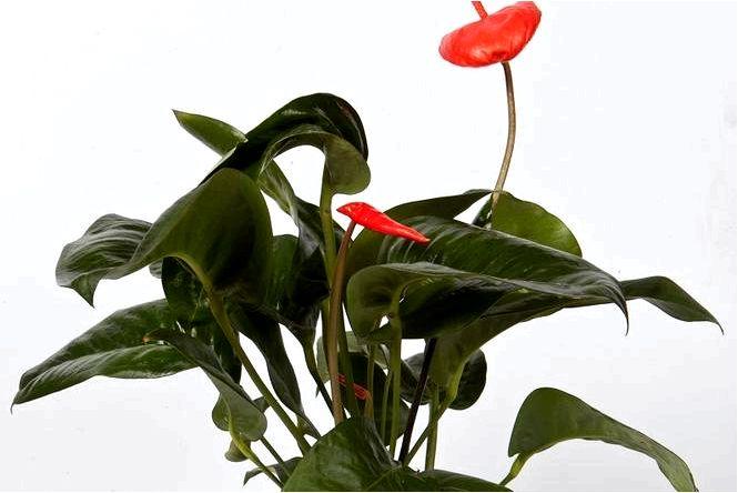 Шерцер антуриум — anthurium scherzerianum