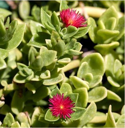 Aptenia sercolistna — aptenia cordifolia (аптения серколистная) — aptenia cordifolia