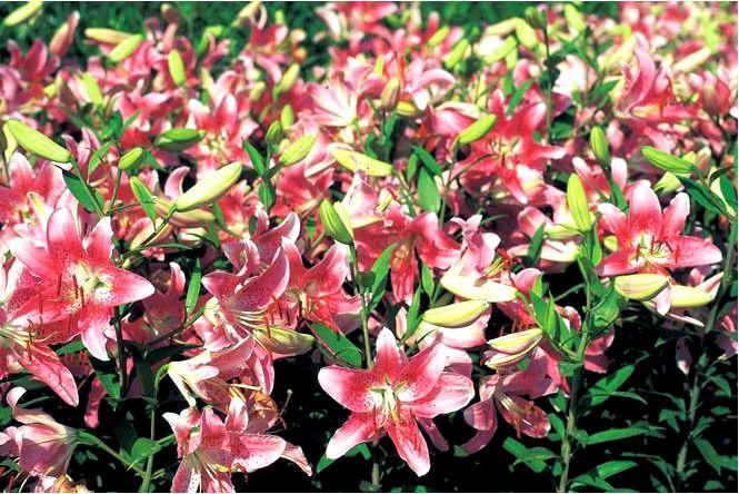 Оборудование сада ароматные растения в саду