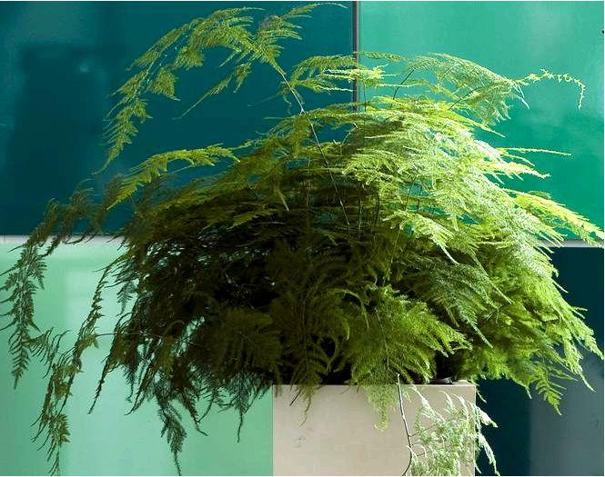 Горшковая спаржа для выращивания в домашних условиях — виды, выращивание, уход за спаржей