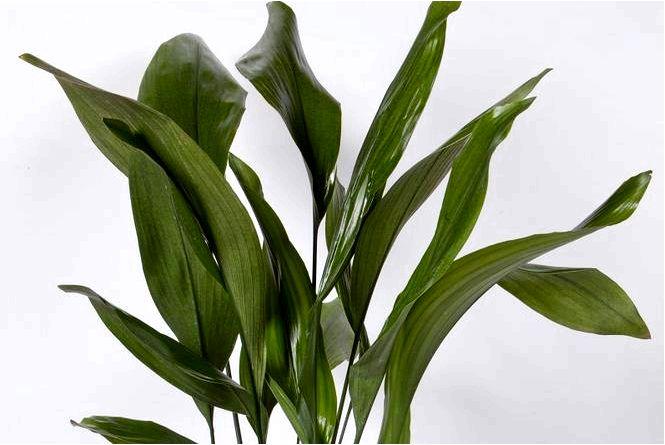 Аспидистра повышенная (железный лист) — aspidistra elatior