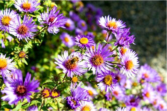 Многолетние астры (марцинки) — самые красивые цветы в осеннем саду