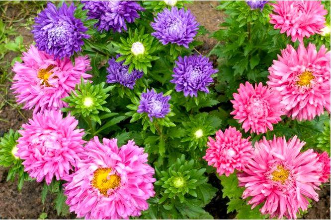 Китайские астры — осенние цветы