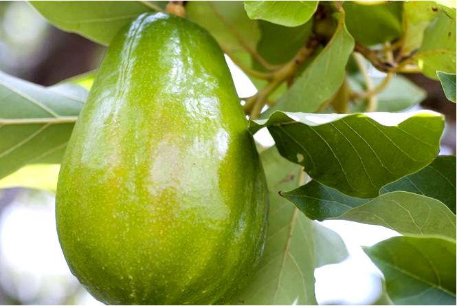 Авокадо (приятный аромат) — persea americana