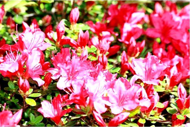Азалия японская — rhododendron japonicum