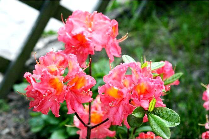 Азалия крупноцветковая; хуанита; рододендрон; хуанита