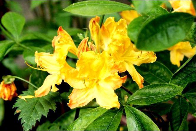 Азалия крупноцветковая; клондайк; рододендрон; клондайк