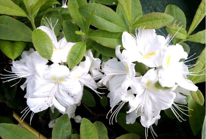 Азалия крупноцветковая; персил; рододендрон; persil