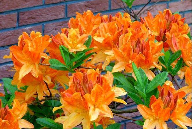 Азалия крупноцветковая — рододендрон