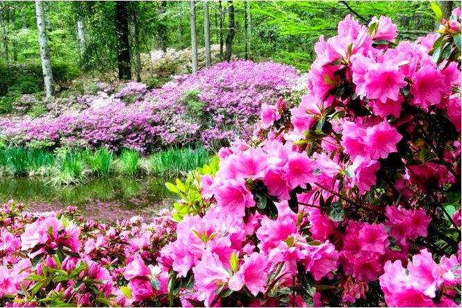 Азалии в саду — требования, уход, выращивание садовых азалий