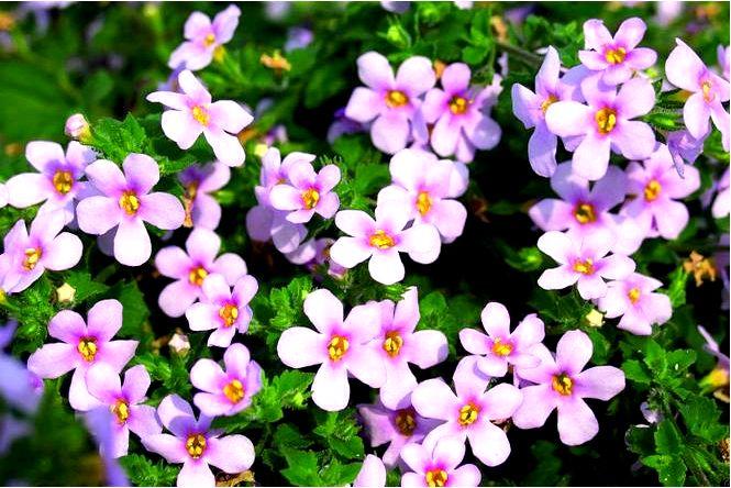 Бакопа — красивые балконные цветы