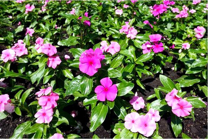 Барвинок розовый, цвет розовый, катарантус розовый — catharanthus roseus