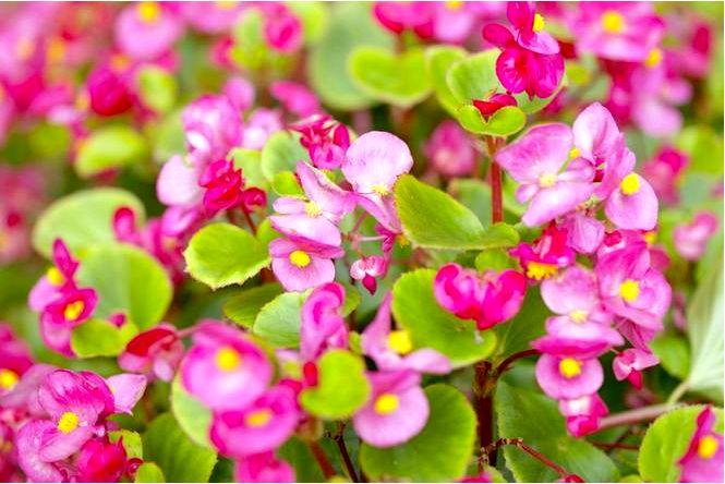 Бегония вечноцветущая — begonia × semperflorens 2