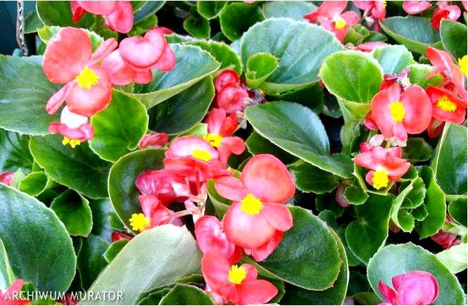 Бегония непрерывно цветущая — begonia × semperflorens