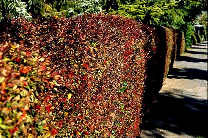 Барбарис, бирючина, плющ листопадные растения, подходящие для живых изгородей и садовых скульптур