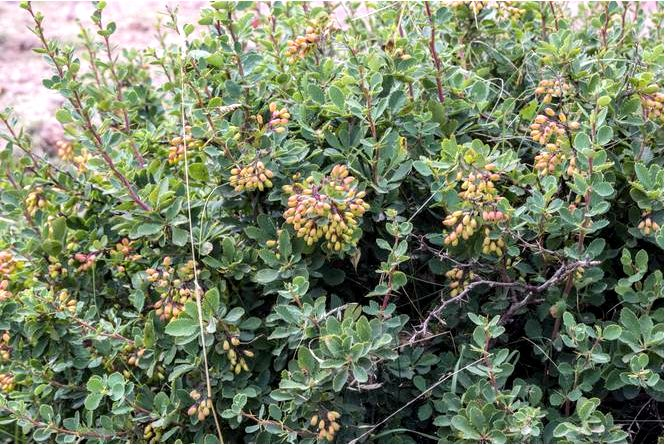 Барбарис обыкновенный барбарис — berberis vulgaris