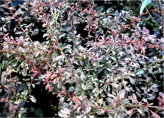 Барбарис тунберга; розовое притяжение; berberis thunbergii; розовое притяжение