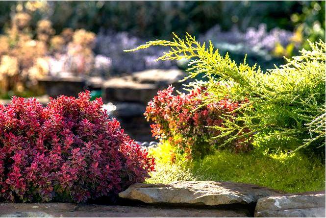 Барбарис — использование барбариса в садах, рекомендуемые виды и сорта барбариса