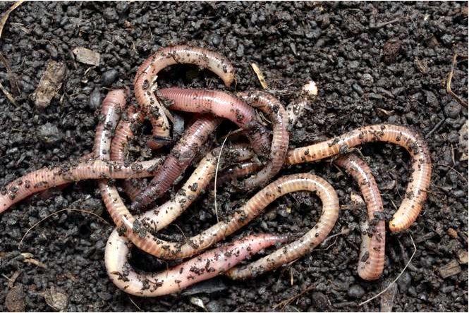 Биогумус — что такое биогумус, как его приготовить и как использовать в саду