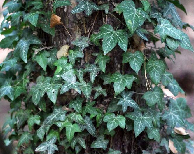 Канарский плющ — hedera canariensis