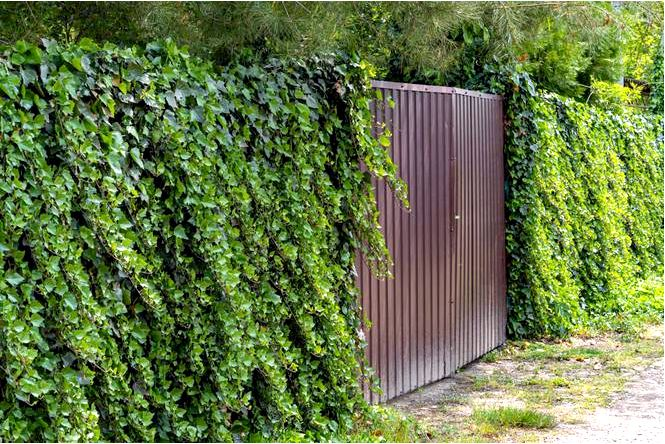 Плющ обыкновенный — отличный вьется для вечнозеленой живой изгороди рядом с забором