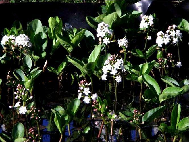 Бобр трехлистный — menyanthes trifoliata