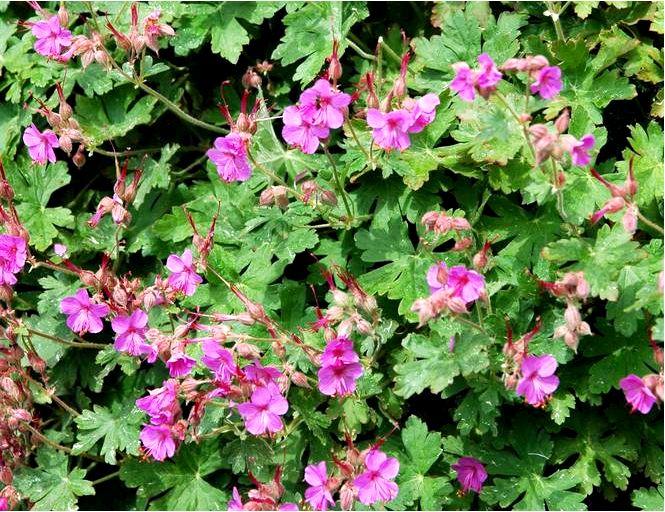 Корневая герань — geranium macrorrhizum