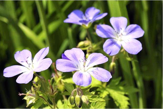 Герань — виды, рекомендуемые для сада, использование герани