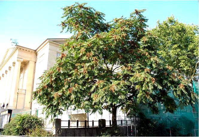 Железистый айлант — ailanthus altissima ailanthus glandulosa