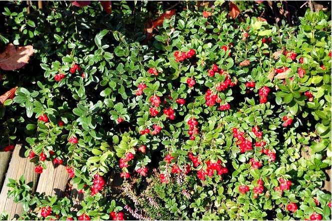 Брусника 'коралл' — vaccinium vitis-idaea; coralle