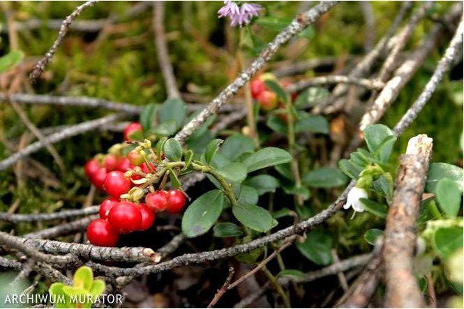 Брусника — vaccinium vitis-idaea