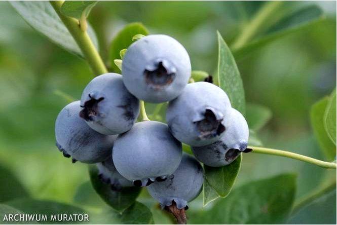 Голубика высокорослая; bluecrop; vaccinium corymbosum; bluecrop