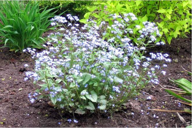 Макрофилла бруннера — brunner macrophylla