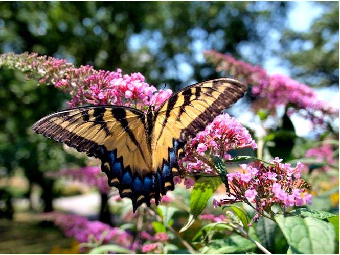 Будлея давида, или куст бабочек