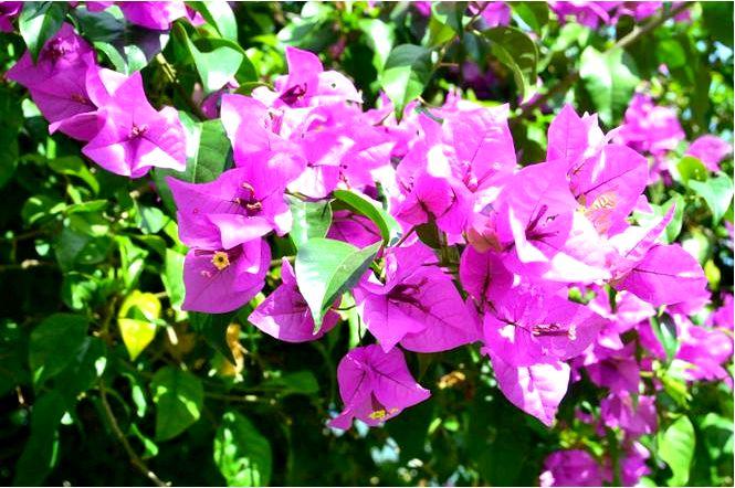 Бугенвиллея — цветущий вьющийся для дома, балкона, террасы и сада