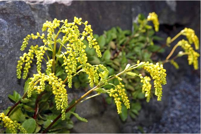 Противолистный хиастофилл — chiastophyllum oppositifolium