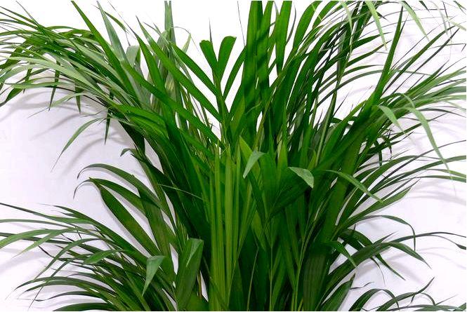 Chrysalidocarpus — хризалидокарпус